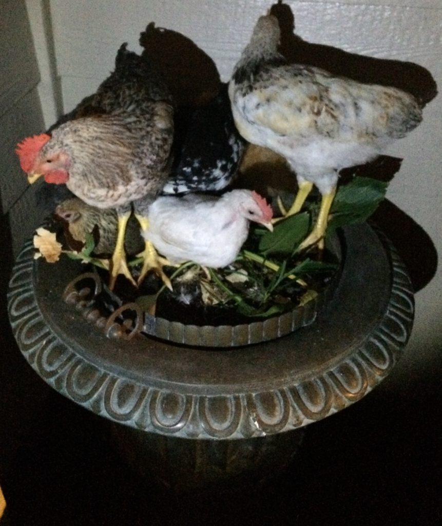 chickens roosting on planter