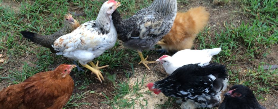 chickensheader